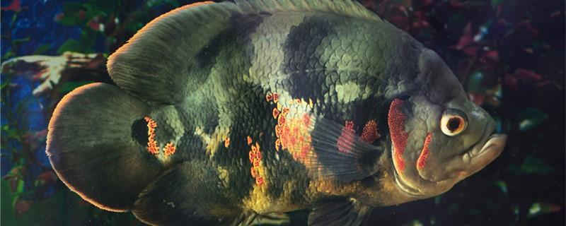 地图鱼肠炎能自愈吗,怎么治疗