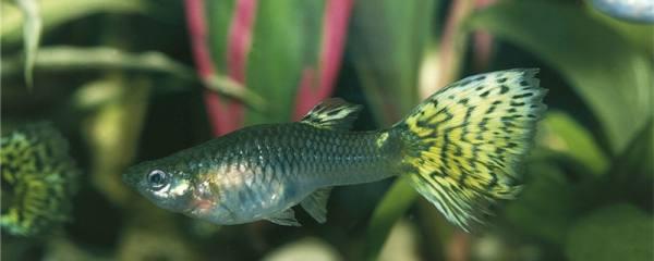 孔雀鱼吃樱花虾吗,能和虾混养吗