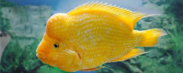 鹦鹉鱼可以和金鱼一起养吗,能和锦鲤一起养吗