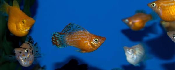 玛丽鱼能和孔雀鱼在一起养吗,能和金鱼一起养吗