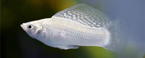 玛丽鱼是冷水鱼还是热带鱼,水温多少度合适