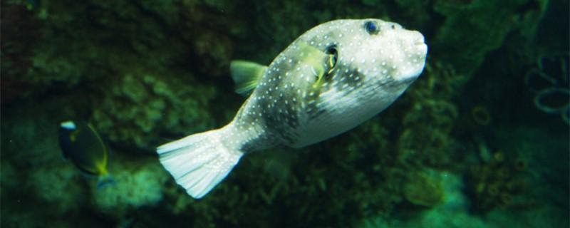 河豚是淡水鱼还是咸水鱼,能在淡水中生存吗-轻博客