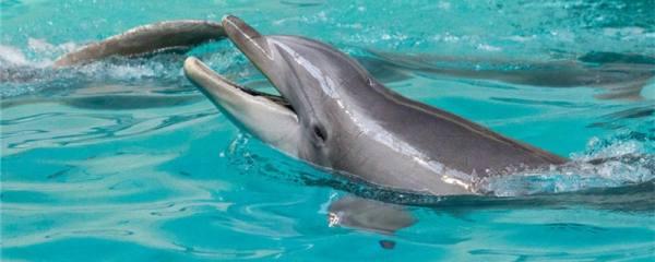 海豚用什么呼吸,呼吸一次在水里能保持多长时间