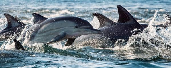 海豚是群居动物吗,为什么会群居