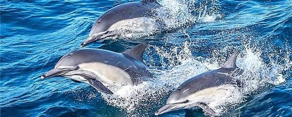 海豚怕鲨鱼吗,能打过鲨鱼吗