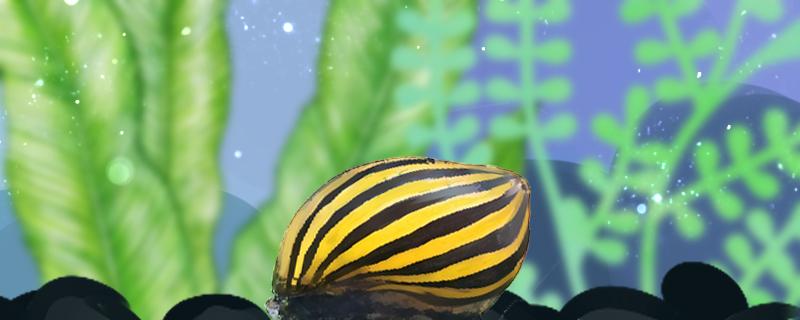 斑马螺吃水草吗,能放草缸养吗