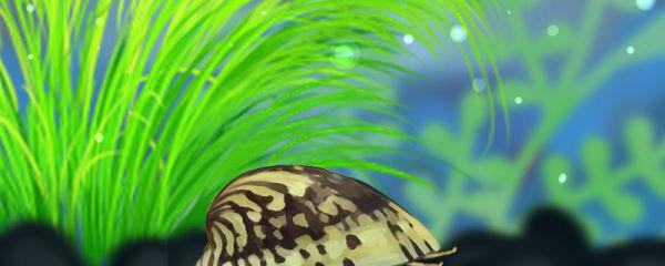 鲍鱼螺吃水草吗,能养在草缸里吗