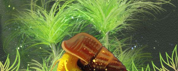 橙兔螺吃水草吗,能放草缸养吗