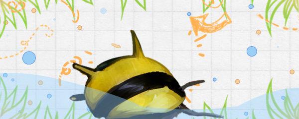 蜜蜂角螺吃水草吗,能放草缸养吗