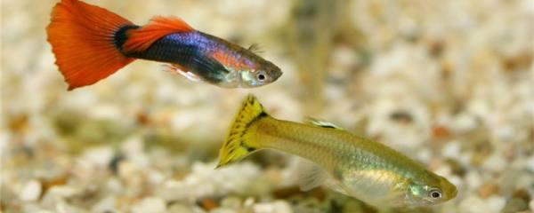 孔雀鱼的胎斑是什么,黑斑和胎斑的区别是什么