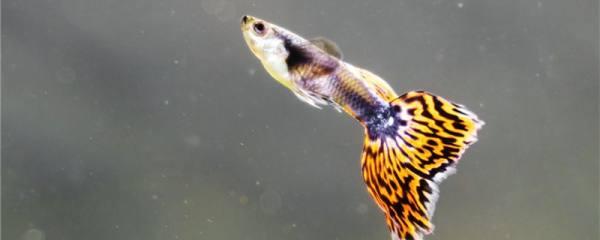 孔雀鱼小鱼多大发色,孔雀鱼小鱼发色过程介绍