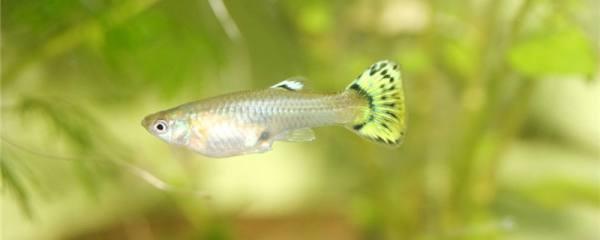 养孔雀鱼用什么水好,能用自来水吗