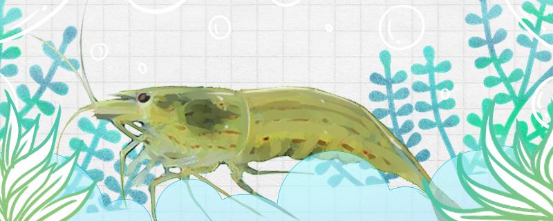 刺肢米虾好养吗,怎么养