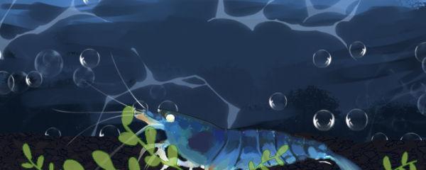 金眼蓝虎纹虾好养吗,怎么养