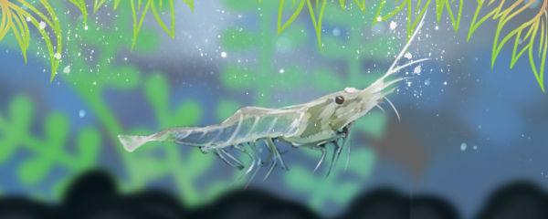 秀丽白虾能放草缸吗,可以除藻吗