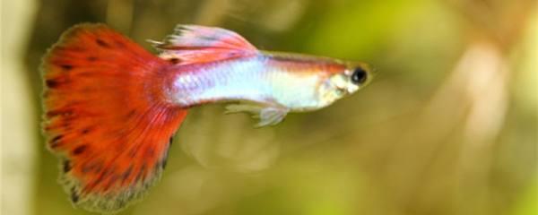 孔雀鱼可以用冷水养吗,水温最低多少度