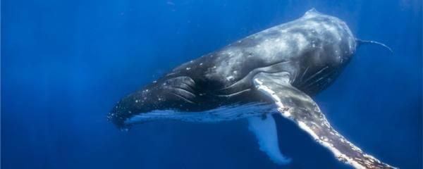鲸鱼能活多少岁,多少岁成年