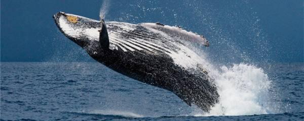 鲸鱼属于鱼类吗,可以离开水吗