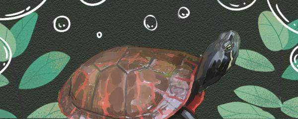 阿拉巴马龟好养吗,怎么养