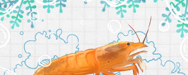 网球虾吃什么,多久喂一次