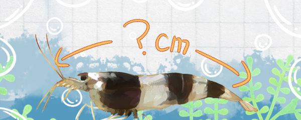 蜜蜂虾能长多大,能活多久
