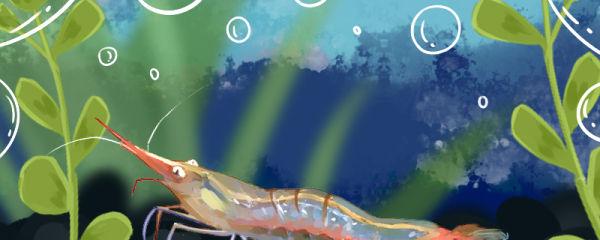 红鼻虾好养吗,怎么养