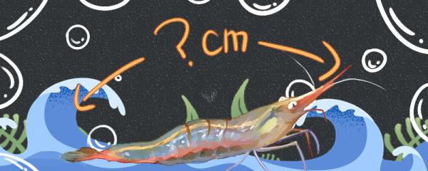 红鼻虾能长多大,能活多久