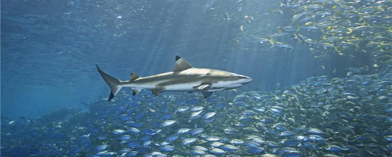 鲨鱼是哺乳动物吗,是胎生动物吗-轻博客
