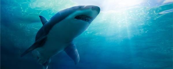 鲨鱼能养吗,容易养吗