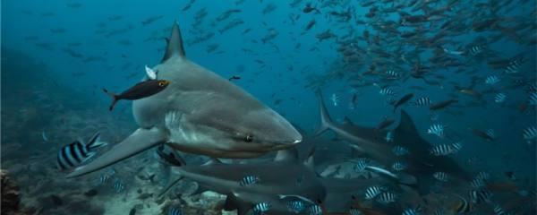 鲨鱼的牙齿掉了还能长出来吗,为什么还会长出来