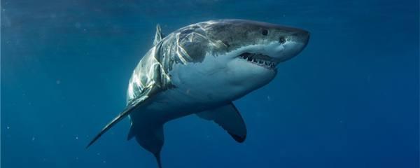 鲨鱼的尾巴长什么样,有什么作用