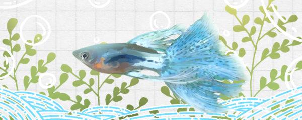 草尾孔雀鱼好养吗,怎么养