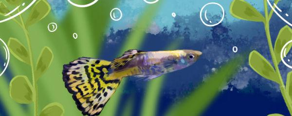 马赛克孔雀鱼好养吗,怎么养
