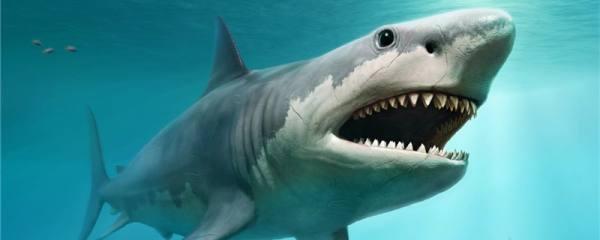 鲨鱼为什么不能停下来,不游动就会死吗