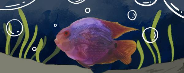罗汉鹦鹉鱼怎么混养,能和什么鱼混养