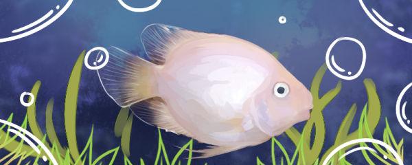雪鹦鹉鱼好养吗,怎么养