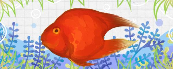 一颗心鹦鹉鱼好养吗,怎么养