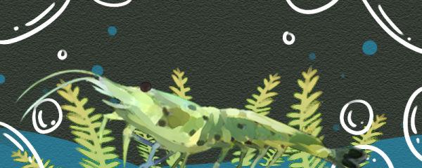 星点珍珠虾好养吗,怎么养