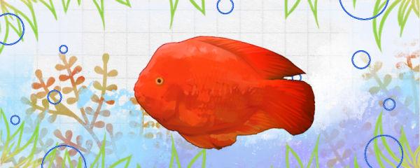 金刚鹦鹉鱼好养吗,怎么养