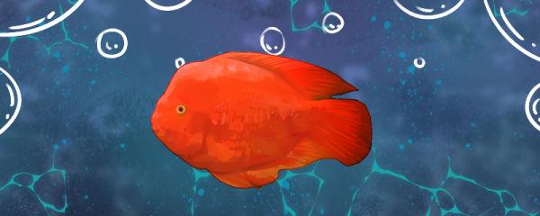 金刚鹦鹉鱼多大开始起头,怎么养起头