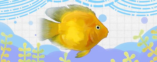 黄鹦鹉鱼好养吗,怎么养