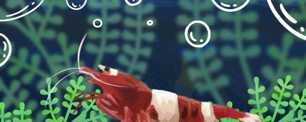 酒红水晶虾好养吗,怎么养