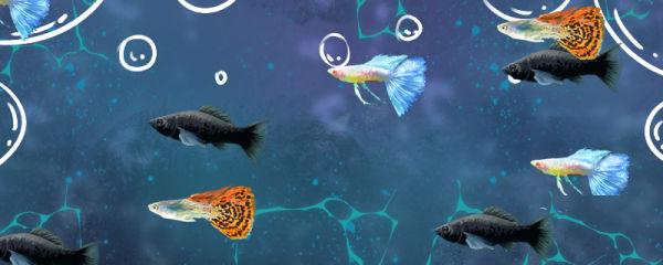 黑玛丽鱼能和什么鱼混养,和孔雀鱼能一起养吗