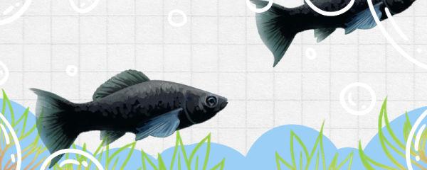 黑玛丽鱼生小鱼有什么前兆,多久生一次小鱼