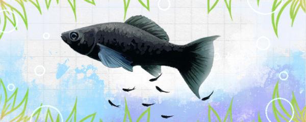 黑玛丽鱼生小鱼怎么养,水温多少合适
