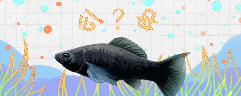 黑玛丽鱼怎么分公母,公母能一起养吗