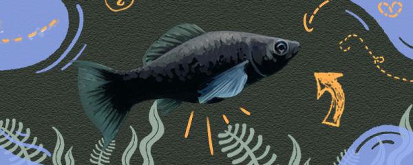 黑玛丽鱼怎么看怀孕,多大能开始繁殖