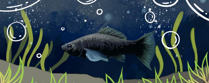 黑玛丽鱼好养吗,怎么养