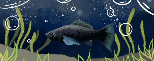 黑玛丽鱼为什么老死,怎么养不会死