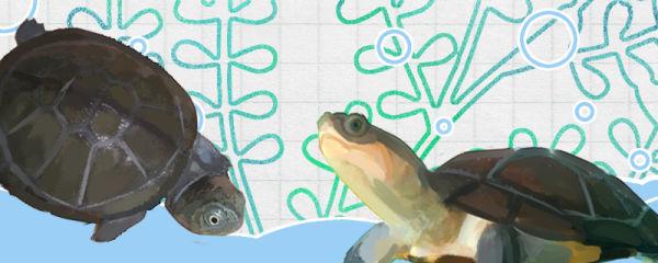 沼泽侧颈龟和西非侧颈龟的区别是什么,能一起养吗